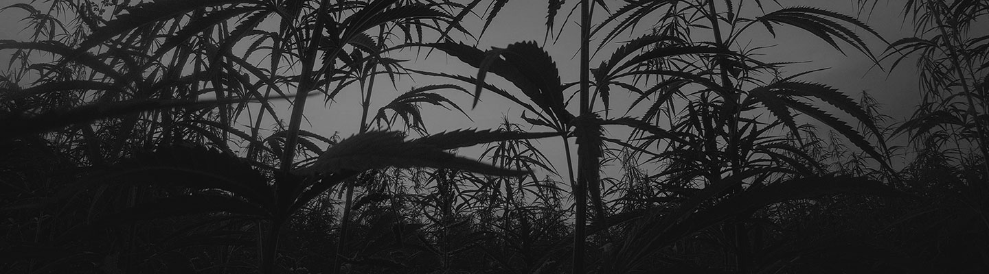 Black and white photo of hemp plants during daytime