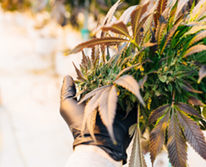 Person holding hemp leaves